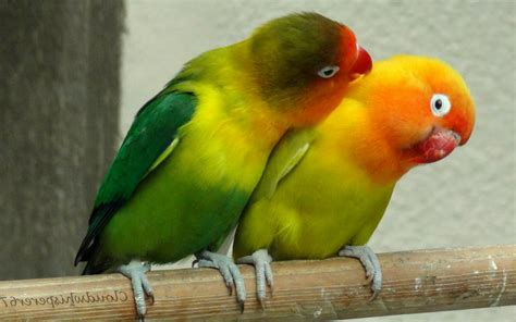 For Lovebird bird wallpapers free