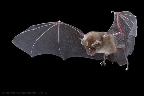 Portable Tabletop by Capturing Bats In Flight In Gorongosa National Park