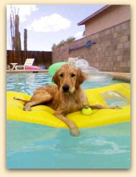 golden retriever club wisconsin golden retriever rescue gulf south dogs our friends photo
