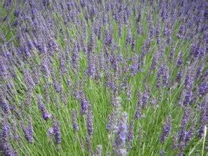 Garten Winterfest Machen Lavendel by Lavendel Pflegen Schneiden Vermehren 252 Berwintern