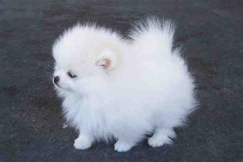 real pomeranian puppies for sale pomeranian puppies for sale foster community