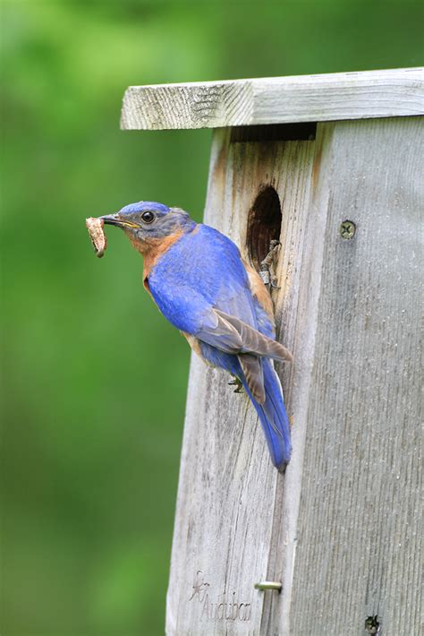 Attract Bluebirds Your Backyard by Attracting Bluebirds Woodcocks And Cocktails Pretty Big