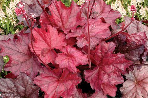 coral bells heuchera heucherella species picket fence greenhouse gardens dianemummvideos