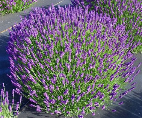 25 best ideas about munstead lavender on pinterest lavender plant care universities in