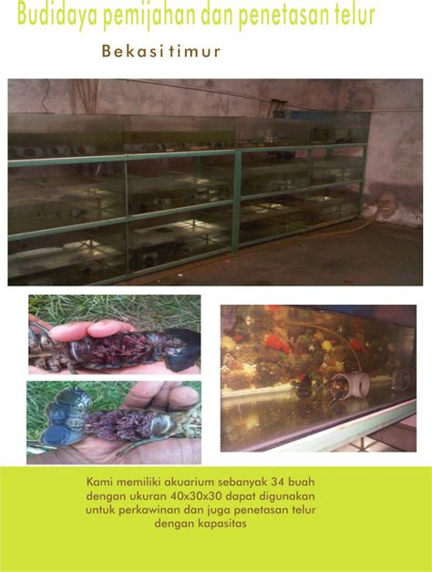 Bibit Lobster Air Tawar Semarang mustika lobster farm jasa lobster air tawar