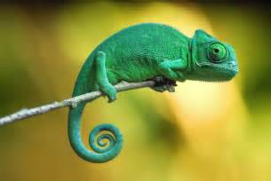 do geckos change color chameleon s mesmerizing color change secret revealed