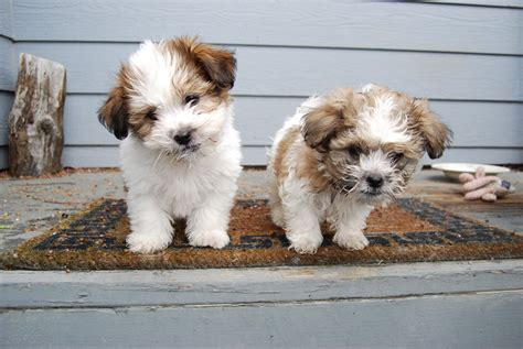 best shoo for shih tzu puppy shih tzu puppy wallpaper breeds picture