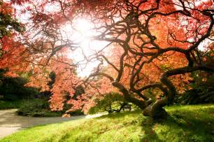 living art japanese maples the plant farm