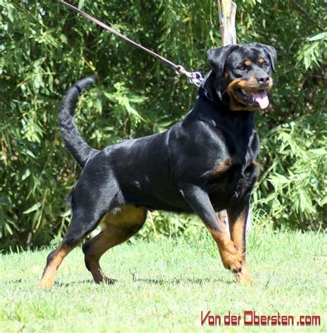 rottweiler breeders in northern california rottweiler breeders california breeds picture