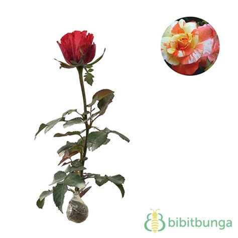 Tanaman Mawar Orange by Tanaman Mawar Batik Orange Bibitbunga