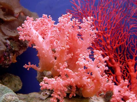 pink coral 5 tips for buying coral reef ebay