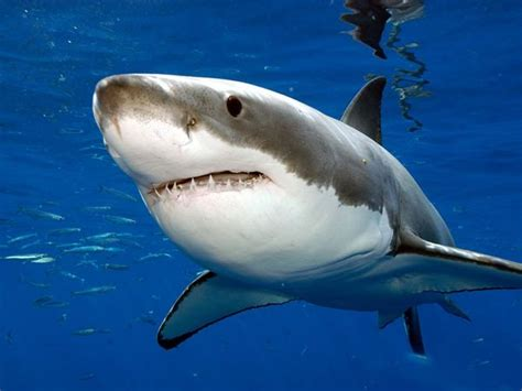 tiburn blanco national geographic great white shark pictures national geographic