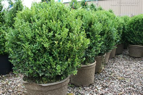 russell s photo gallery plants 187 shrubs evergreen broad leaf 187 boxwood green mountain