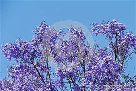 opposite of purple violet jacaranda tree opposite a blue sky stock image