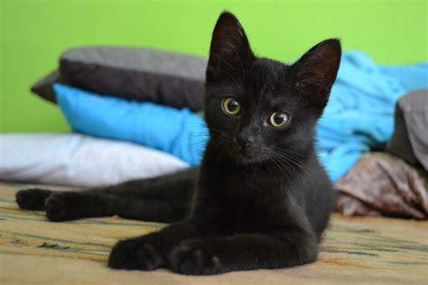photo cat kitten black animal pet  image