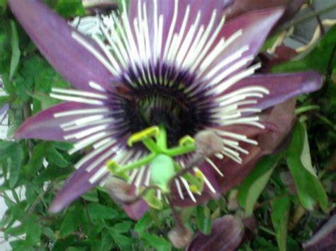 passiflora in vaso passiflora coltivazione