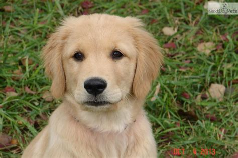golden retriever for sale in las vegas dogs and puppies for sale and adoption oodle marketplace
