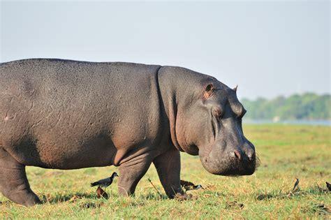imagenes de animales lentos hipop 243 tamo ecologia caracter 237 sticas fotos infoescola