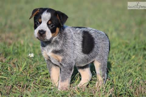 Australian cattle dog puppies for sale in oregon dog breeds picture