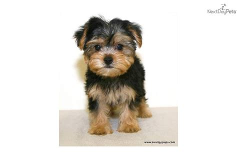 10 lb yorkie 6 pound yorkie related keywords suggestions 6 pound yorkie keywords