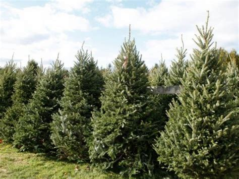 san diego kicks off annual christmas tree recycling