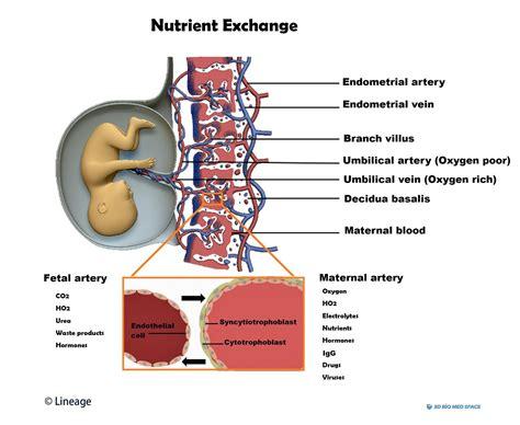 placental components embryology medbullets step