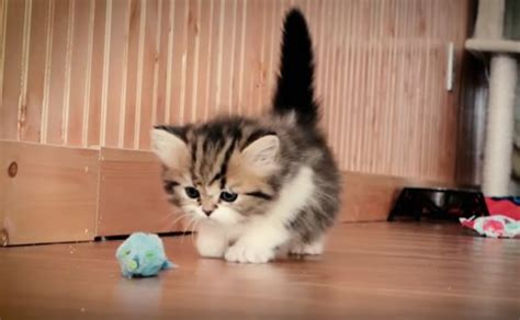 munchkin kitten grows  neatorama