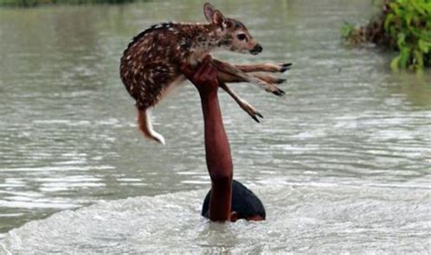 saves baby deer dramatic moment brave boy risks own to save a baby deer from drowning in raging