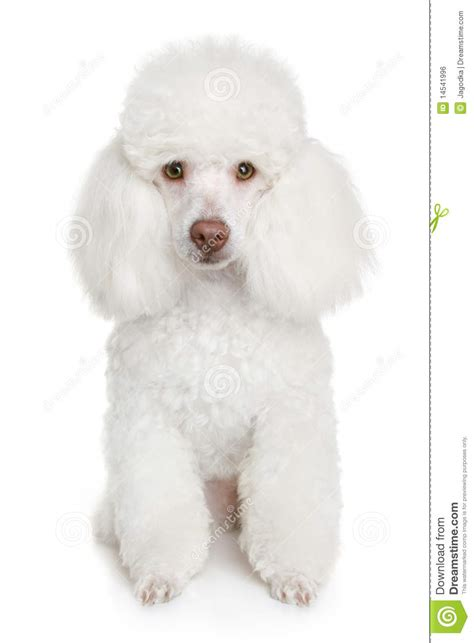 white poodle puppy white poodle puppy royalty free stock image image 14541996