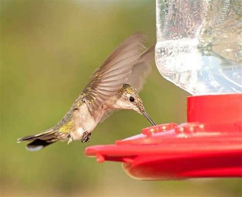 hummingbird feeder recipe and more for the outdoorsy