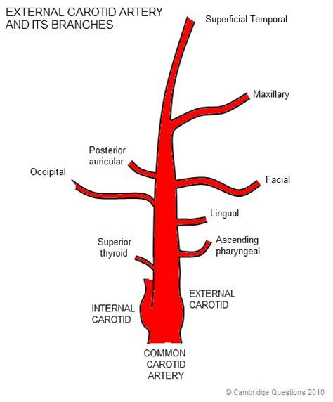 diagram of carotid artery diagram of branches of external carotid artery archives