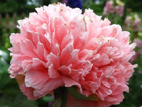 Promo Benih Selada Merah Lettuce Rosa Mr Fothergills Kemas benih poppy bombast