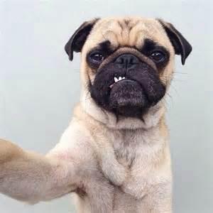 selfie pug pug selfie animals