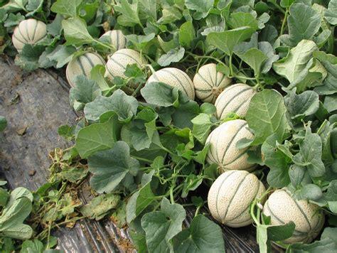 coltivare meloni in vaso coltivare il melone fiorinet concimi