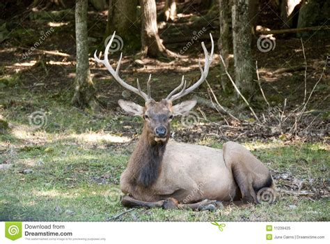 deer stag laying in the forest stock image image 11239425