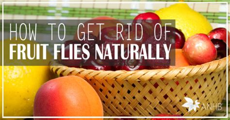 how to get rid of fruit flies naturally all home