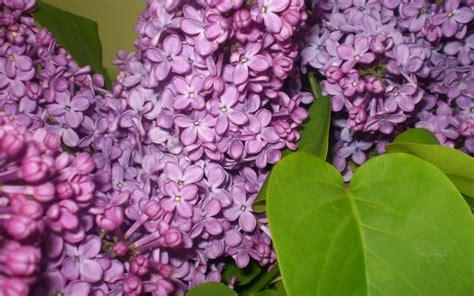 purple lilacs syringa fragrant purple lilac 1280x800