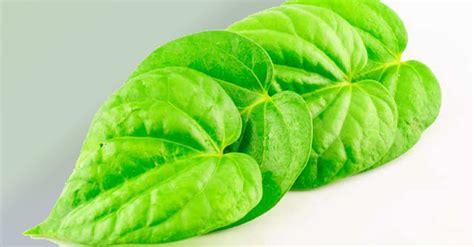 Betel Leaf Daun Sirih Essential 5ml the benefits of chewing betel leaf ayurveda betel leaf wellness