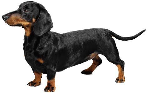 wiener puppies dachshund breed information pictures characteristics facts dogtime