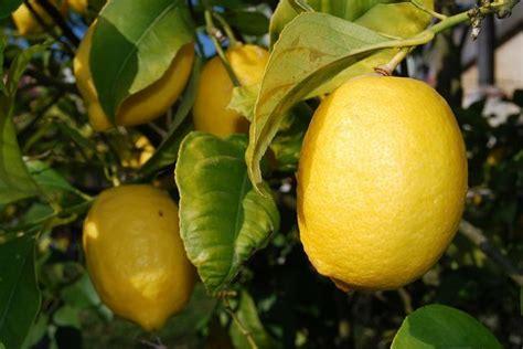 come coltivare un limone in vaso oltre 1000 idee su vaso di limone su vaso