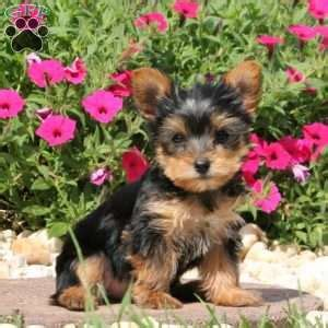 yorkie puppies denver terrier puppies for sale greenfield puppies