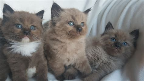 a ragdoll kitten available ragdoll kittens amorpurrfectragdolls