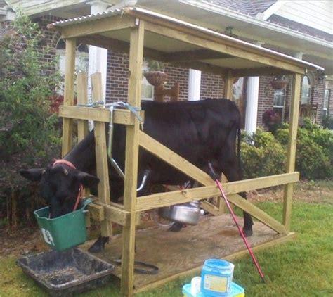 built    milking stanchion mini cows milk