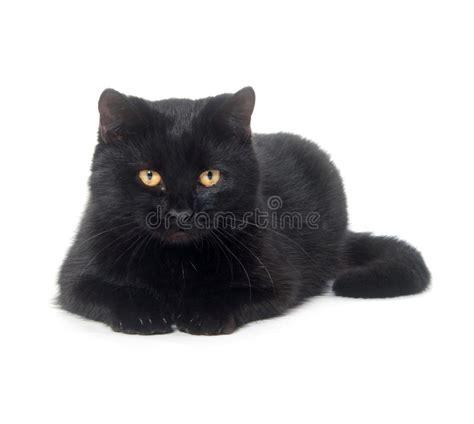 imágenes gato negro gato negro en el fondo blanco imagen de archivo imagen