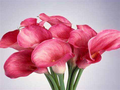 fiore calle significato calla significato fiori linguaggio dei