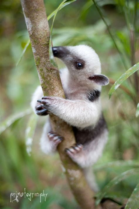 Home Design Hd by Baby Anteater Wallpapers Baby Animals