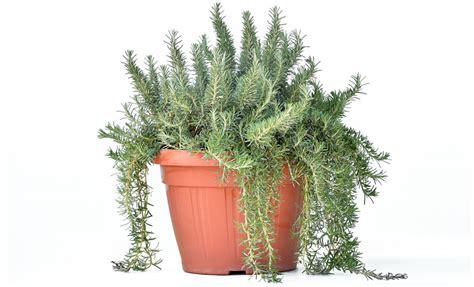 rosmarino prostrato in vaso pianta di rosmarino prostrato 216 25 cm savini vivai di