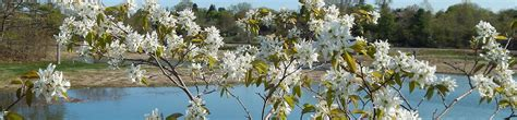 small flowering trees  dozen native species  limited