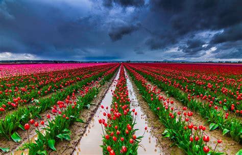 imagenes tulipanes naturales banco de im 193 genes 30 fotos de tulipanes en varios colores