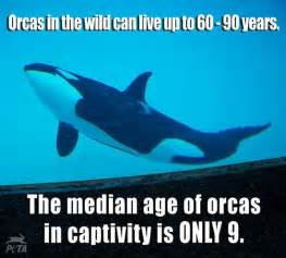 Orcas In Captivity Essay by Lifespan Of Orcas In Captivity It S So Fluffy I M Gonna Die Oppression The
